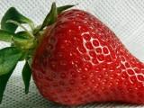 Erdbeere_2008-2-27